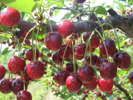 Плоды черешни Любимица Астахова