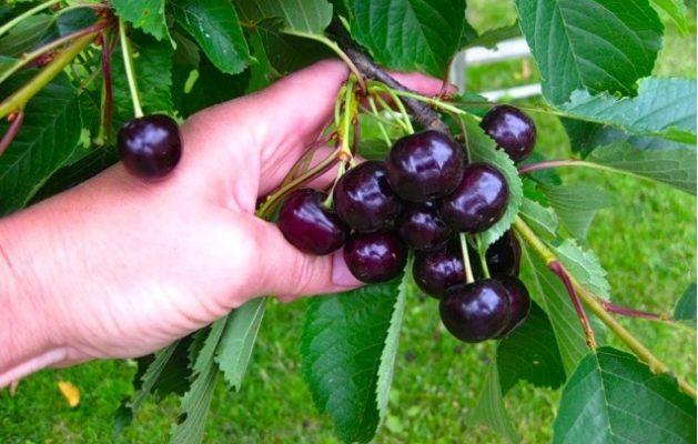 Внешний вид плодов вишни Новелла