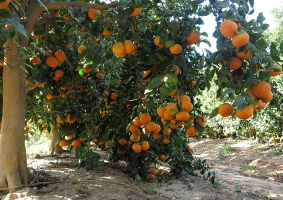 Урожай мандаринов на дереве