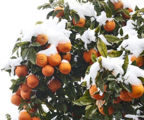 Мандарины под снегом