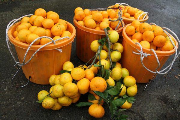 Урожай мандаринов