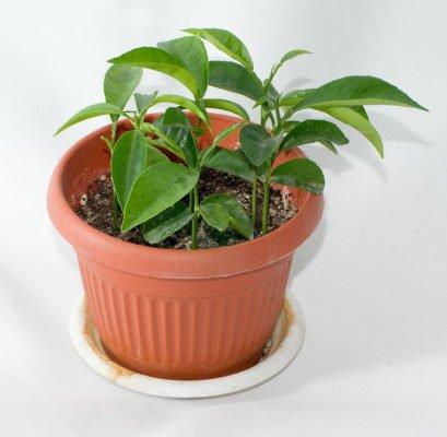 Сеянцы мандарина в горшке