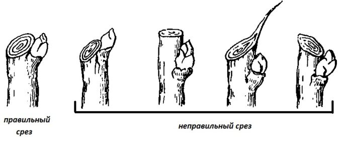 Правильное выполнение среза ветки