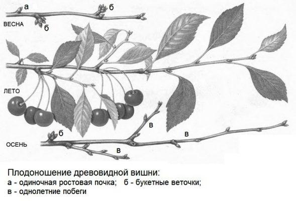 Плодоношение древовидной вишни