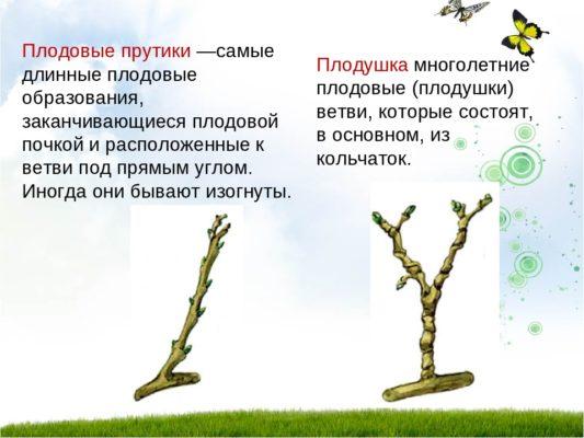 Рисунок плодового прутика и плодушки