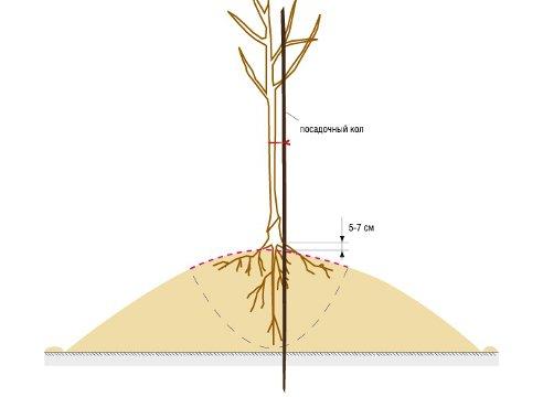 Схема посадки саженца на холм