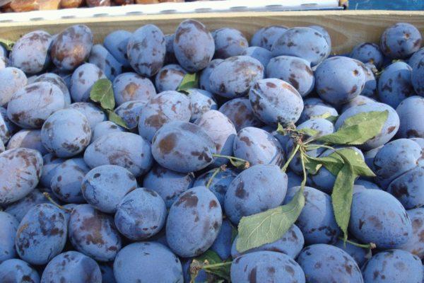 Плоды сливы Смолинка