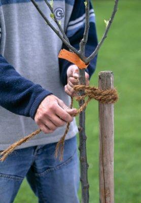 Подвязка саженца