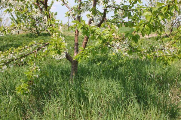 Дерево черешни Брянская розовая