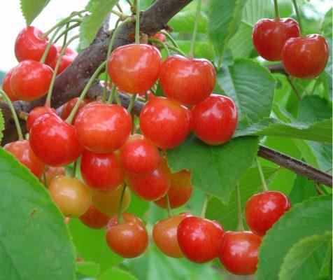 Плоды черешни Брянская розовая