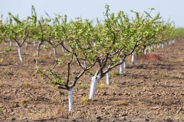 Деревья с побелёнными штамбами