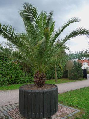 Финиковая пальма в горшке