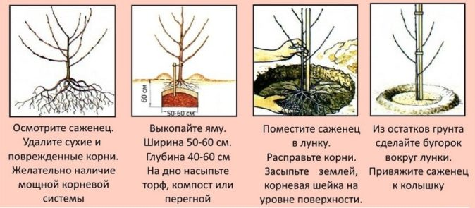 Этапы посадки саженца вишни