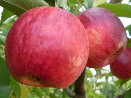 Плоды яблони Жигулёвское