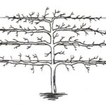 Схема формировки кроны в виде пальметты