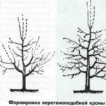 Схема формировки кроны в виде веретена