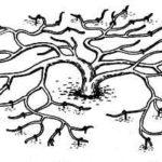 Схема стланцевой формировки кроны