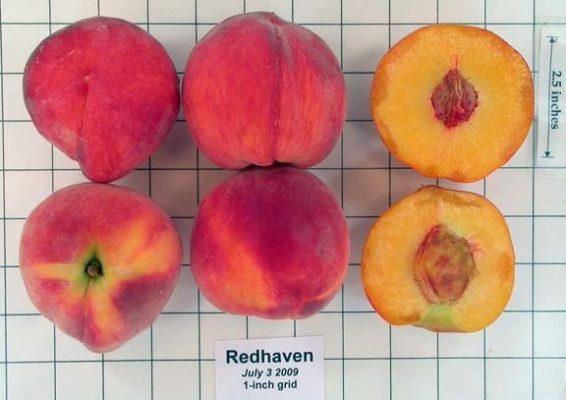 Плоды персика Редхейвен