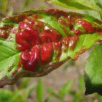 Лист персика, поражённый курчавостью
