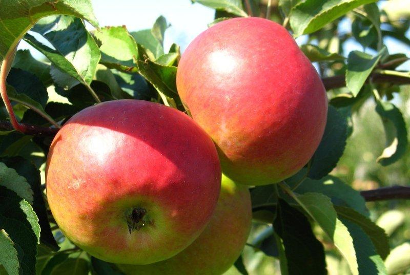 Ценные советы садоводам о правильной обрезке, подкормке и уходе за яблони жигулевской