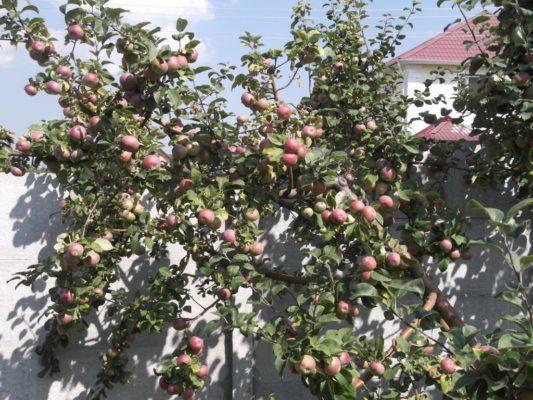 Дерево яблони Лобо