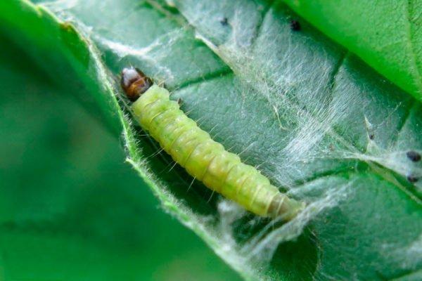Личинка листовёртки