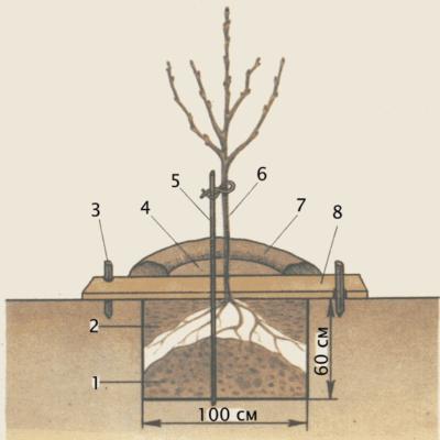 Расположение саженца на холмике в лунке