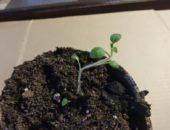 картофель рассадой