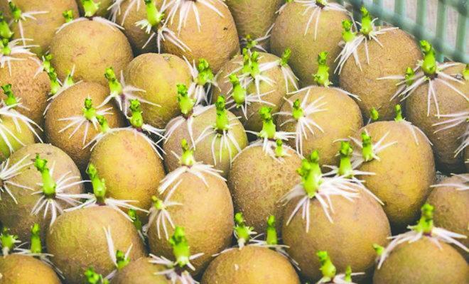Ростки из «глазков» картофеля