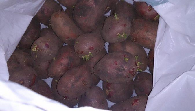 Проращивание клубней картофеля