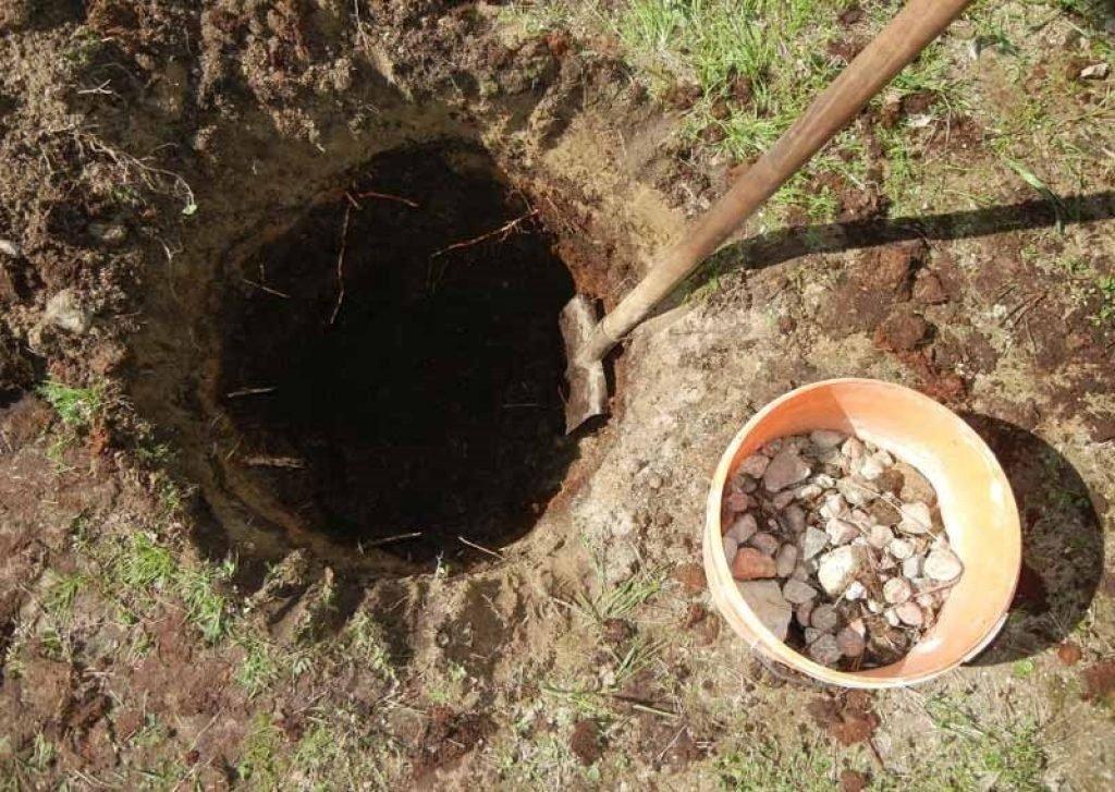 Гибискус садовая посадка и уход в открытом грунте на урале