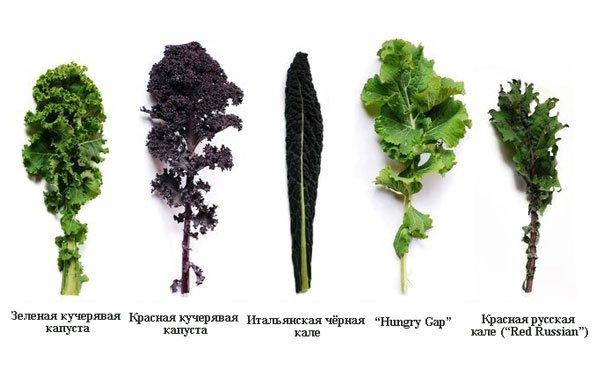 Разновидности капусты кале