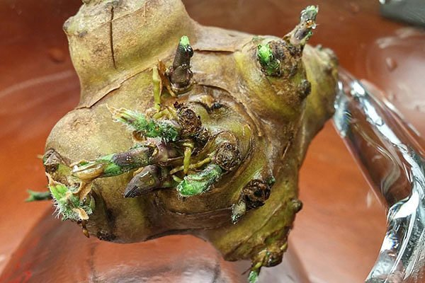 Клубень топинамбура с ростками