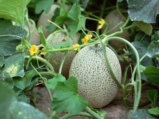 Дынные плоды и цветы