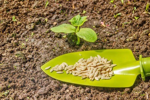Сеянец и семена дыни