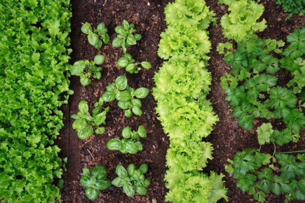 Совмещённые посадки пряных трав и салата