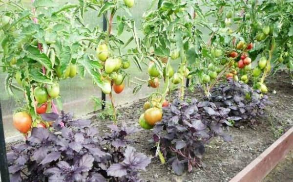 Совместные посадки томатов и базилика