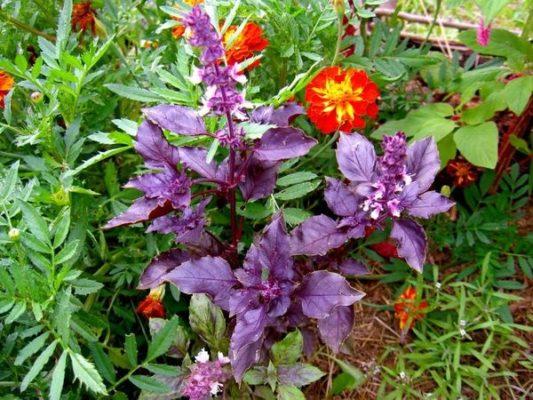 Базилик в цветнике