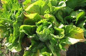 Пожелтение листьев салата