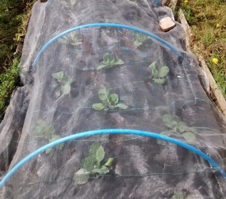Грядка капусты под агроволокном