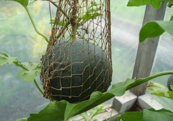 Подвязывание арбуза