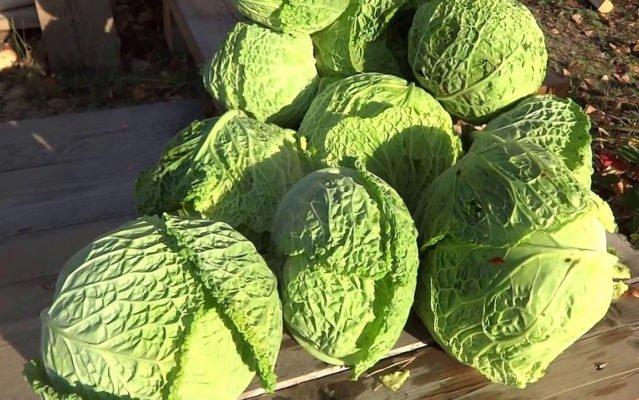 Урожай савойской капусты