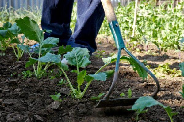Уход за капустной грядкой