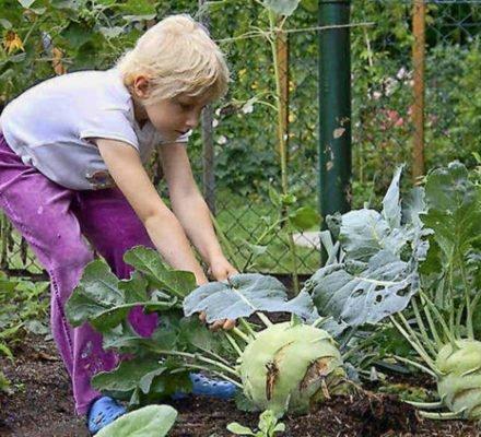 Девочка пытается вытащить кольраби из земли