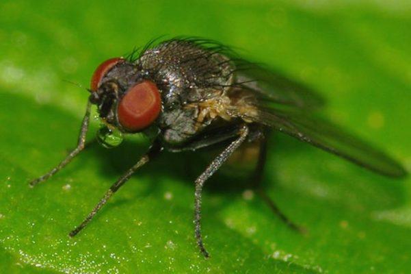 Взрослая особь минирующей мухи