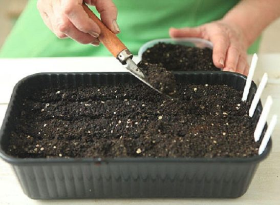 Заделка семян капусты в грунт