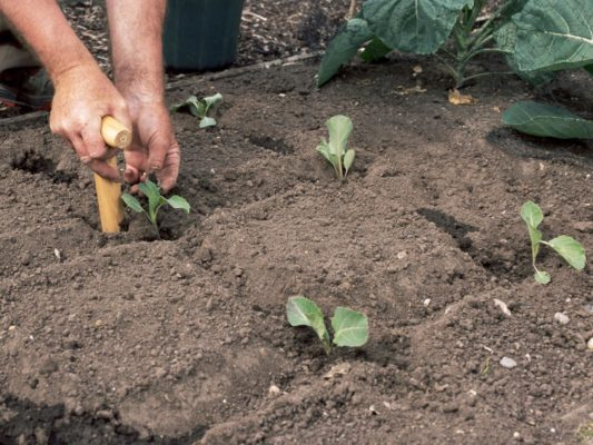 Посадка рассады капусты в лунки