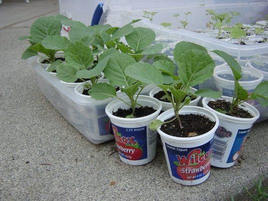 Закаливание рассады капусты