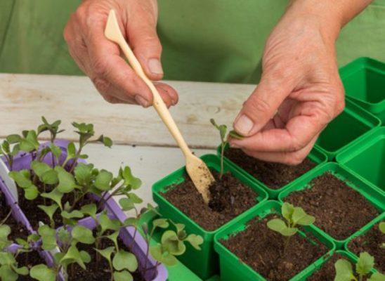 Пересадка сеянца капусты