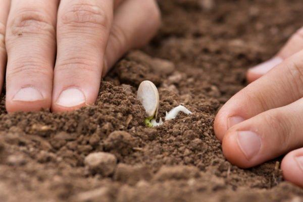 Высадка семян кабачка